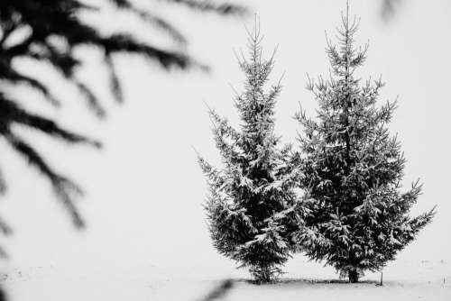 Snow covered spruce in black and white