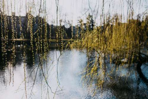 Spring willow by the lake