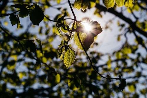 Sun rays through hazel leaves