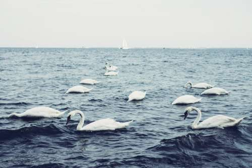 Swans floating on the sea