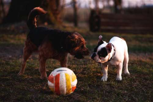 Two dogs with a ball