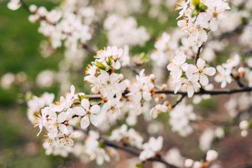 White tree blossom 2