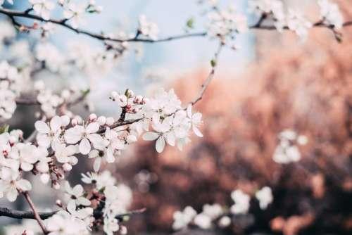 White tree blossom 4