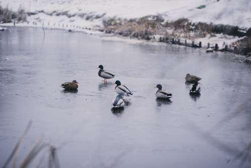 Wild ducks at a frozen pond