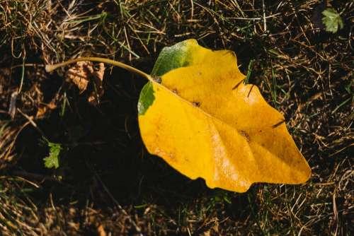 Yellow poplar leaf