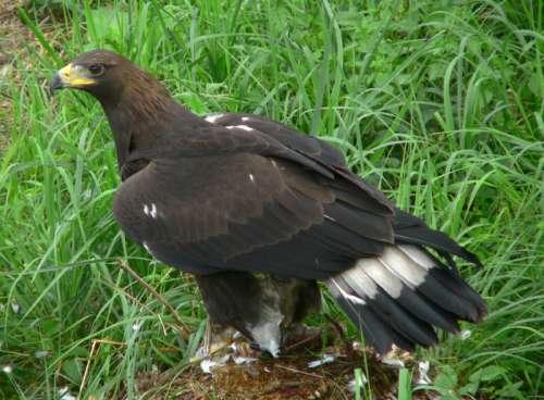 Adolescent Golden Eagle - Aquila chrysaetos free photo