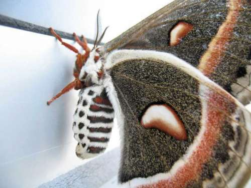 Adult Female Cecropia Moth Macro - Hyalophora cecropia free photo
