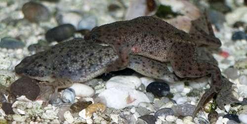 African dwarf frog mating free photo
