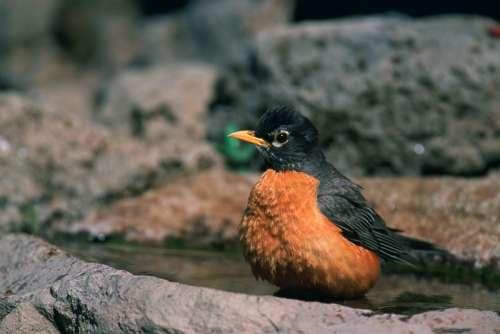American Robin Picture - Turdus migratorius free photo