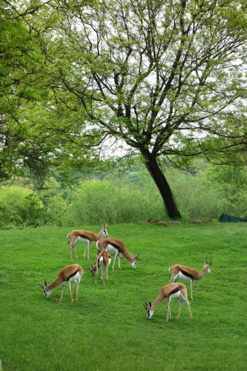 Antelope in the zoo in Pittsburgh, Pennsylvania free photo