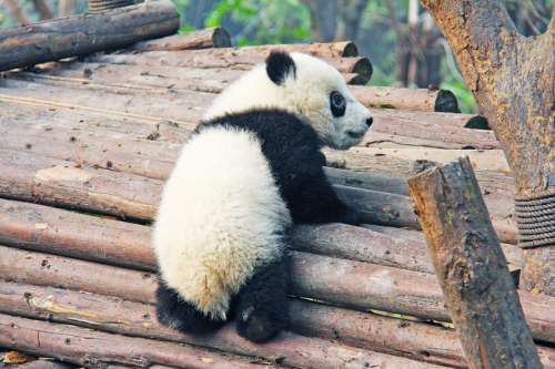 Baby Panda Bear climbing on some logs free photo