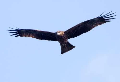 Black Kite Soaring in the sky - Milvus migrans free photo
