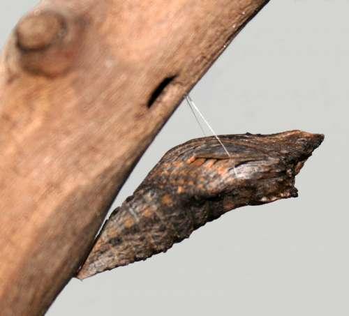 Black Swallowtail Cacoon - Papilio polyxenes free photo