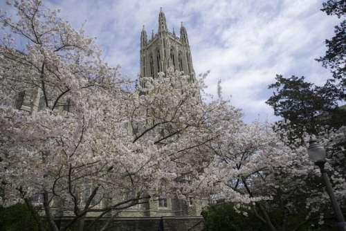 Blossoming Tree around Duke Chapel in Durham, North Carolina free photo