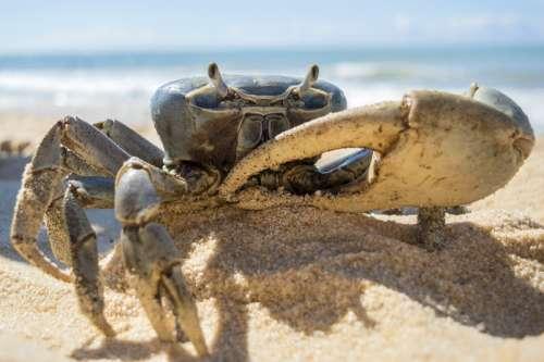 Blue Crab on Sandy Beach free photo