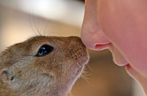 Boy and African Ground Squirrel touching Noses free photo