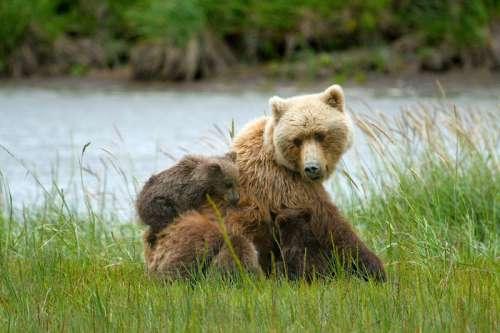 Brown bears in Lake Clark National Park, Alaska free photo