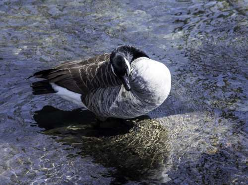 Canadian Goose Preening itself free photo