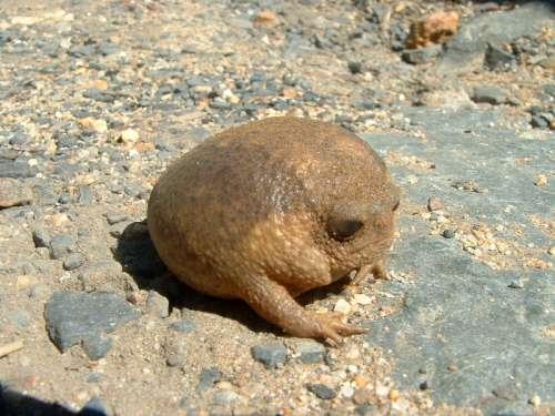Cape rain frog on the rocks - Breviceps gibbosus free photo