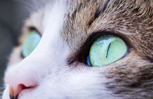 Cat with Green Eyes free photo
