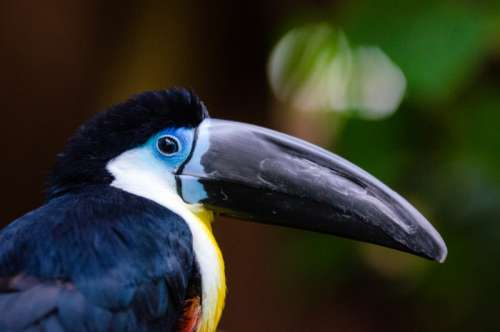 Channel Billed Toucan - Ramphastos vitellinus free photo