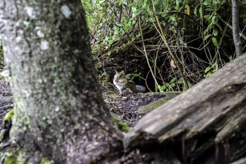 Chipmunk in the woods at Algonquin Provincial Park, Ontario free photo