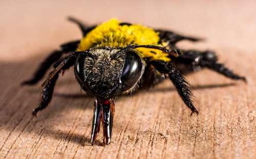 Close-up macro of a Bee free photo