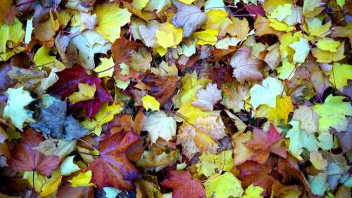 Colored Maple Leaves free photo