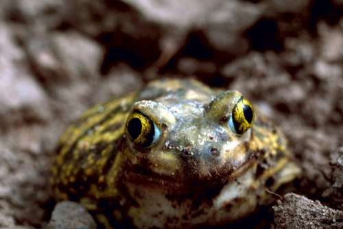Couch's Spadefoot Toad - Scaphiopus couchii free photo