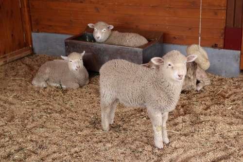 Cute Lambs in a barn free photo