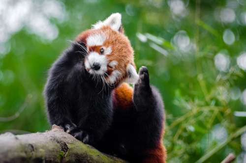 Cute Red Panda - Ailurus fulgens in a tree free photo