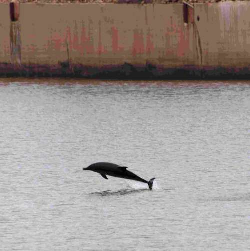 Dolphin Jumping out of the Water at Gijon, Spain free photo