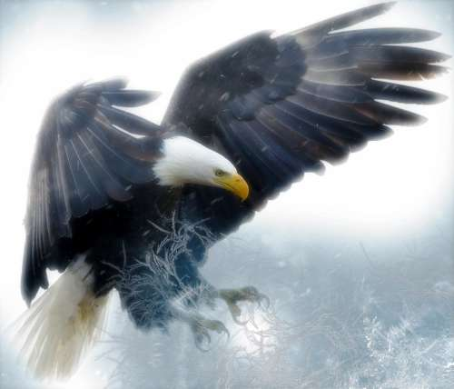 Eagle coming down with grasping claws free photo