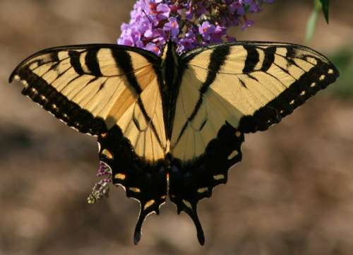 Eastern Tiger Swallowtail,Papilio glaucus Butterfly free photo