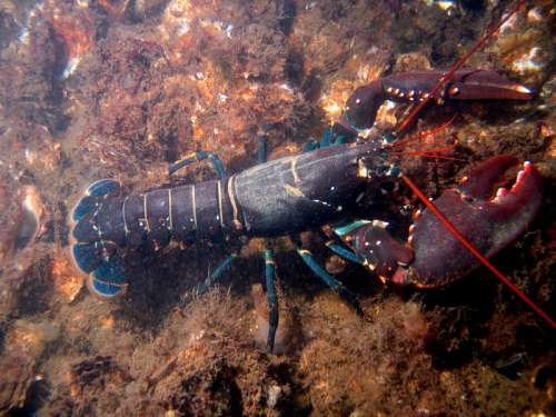 European Lobster - Homarus gammarus free photo