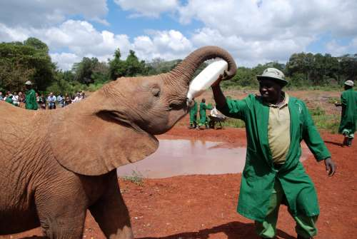 Feeding the Elephant in Nairobi, Kenya free photo
