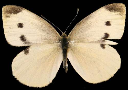 Female Cabbage White, Pieris rapae  free photo