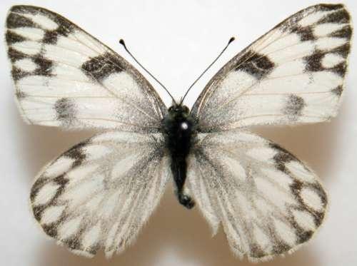 Female Checkered White, Pontia protodic. Butterfly free photo