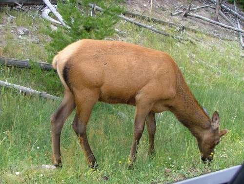 Female Elk in Yellowstone National Park, Wyoming free photo