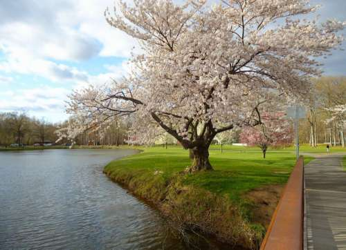 Flowers on trees by the lake in New Jersey free photo