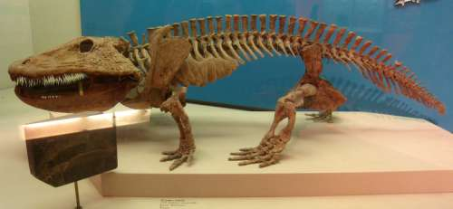 Fossil of Eryops - an ancient creature free photo