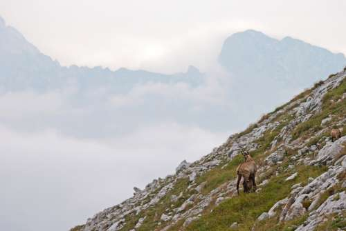 Goat standing on the Mountains in Nationalpark Gesaeuse Austria free photo