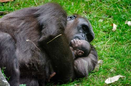 Gorilla and baby sleeping free photo