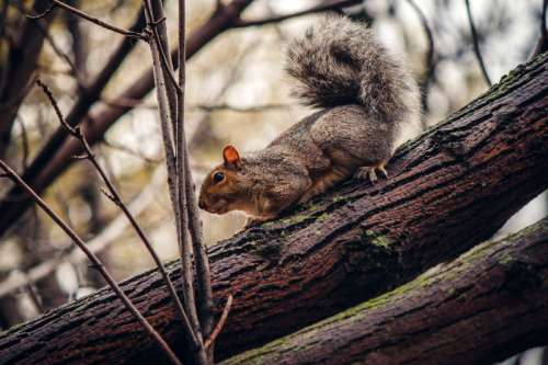 Grey Squirrel in Tree free photo