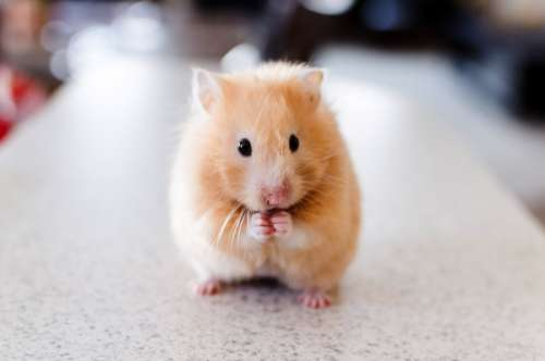 Hamster Standing Up free photo