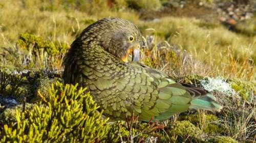 Kea Mountain Parrot sitting free photo