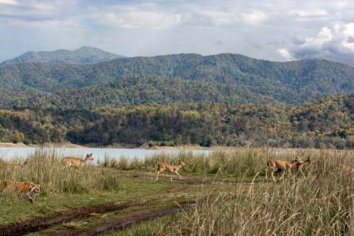 Landscape, forest, lake, tiger,a deer, in Ramnagar, India free photo