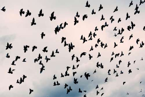 Large Flock of Pigeons in the Air free photo