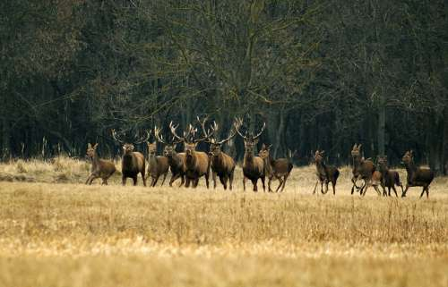 Large herd of Deer free photo