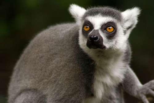 Lemur monkey, common in Madagascar free photo